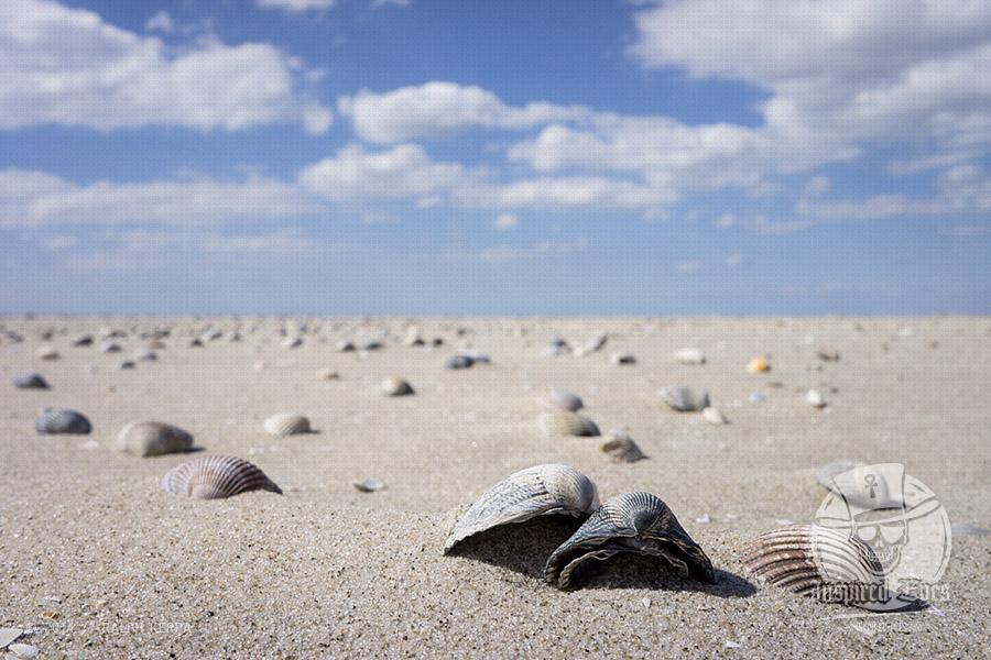 Muscheln auf einer Sandbank im Watt vor St. Peter-Ording // Foto: Ralph Kerpa