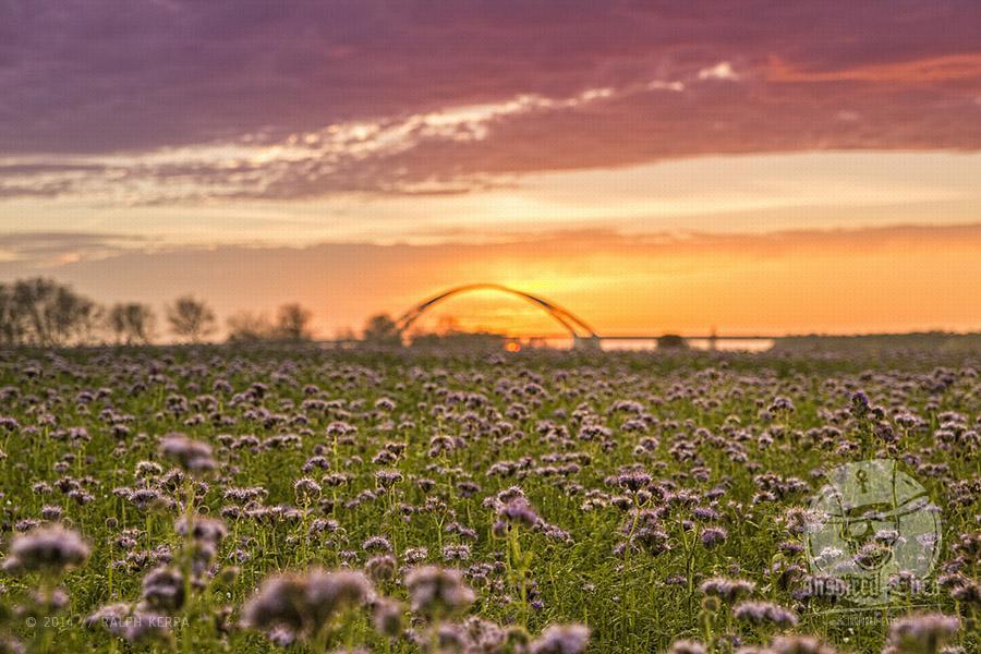 """Feld mit Phacelia, auch """"Bienenfreund"""" genannt, vor der Fehmarnsundbrücke und der untergehenden Sonne // Foto: Ralph Kerpa"""
